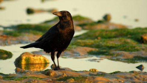 Crow on the beach