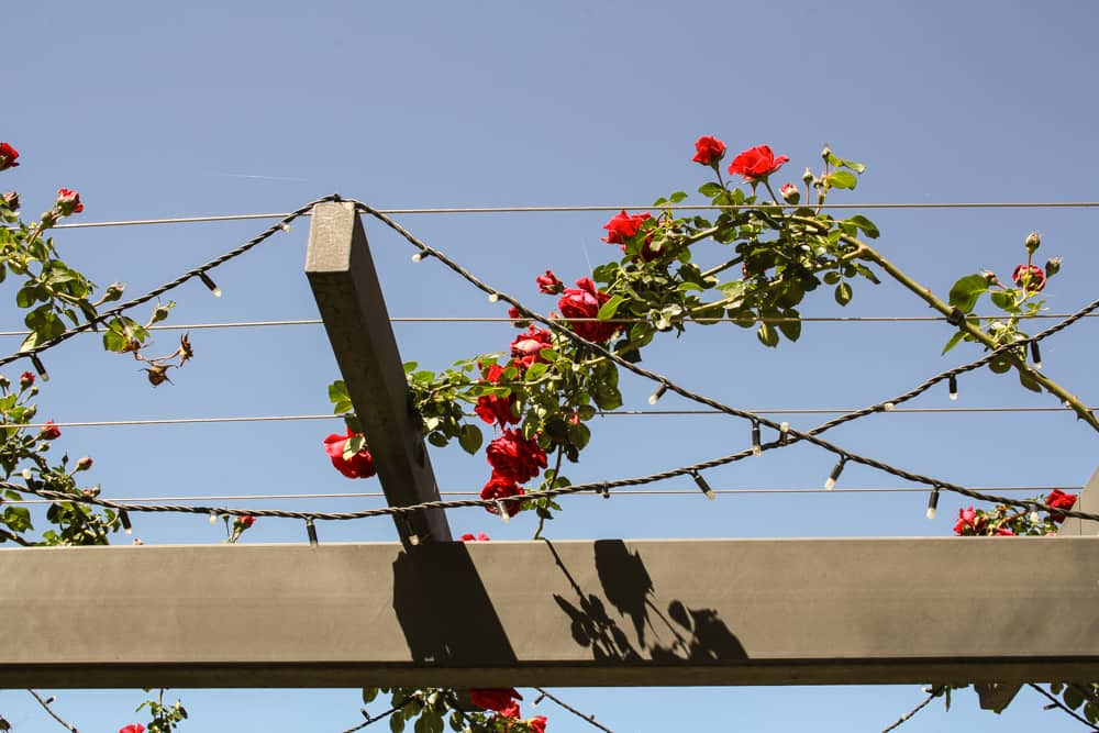 Roses in some barbed wire
