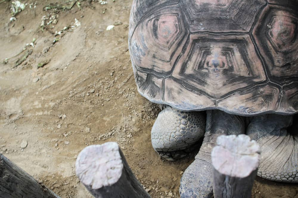 Giant tortoise from above