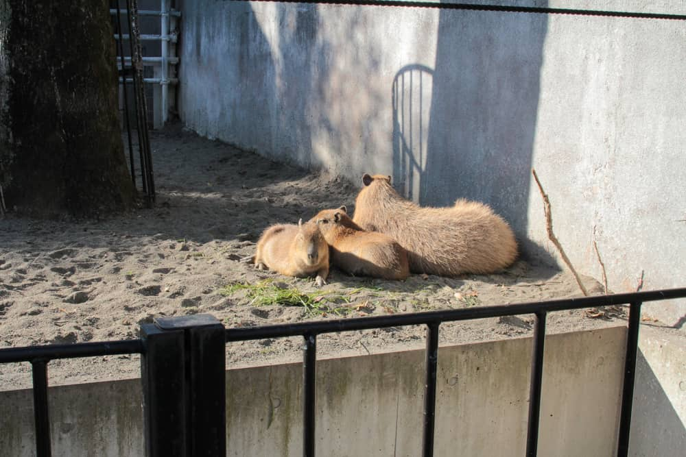 I think these were tapirs?