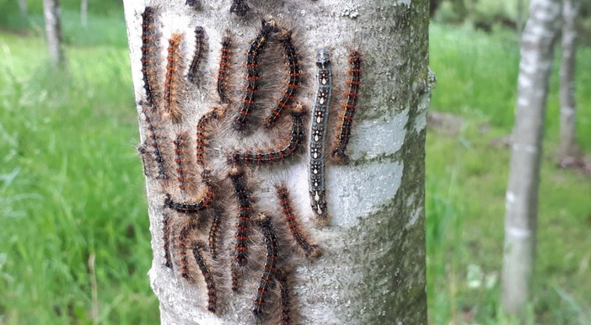 Controlling Gypsy Moth and making your own DYI traps