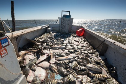 A skiff full of fish on North Carolina's Core Sound by Dan Smith
