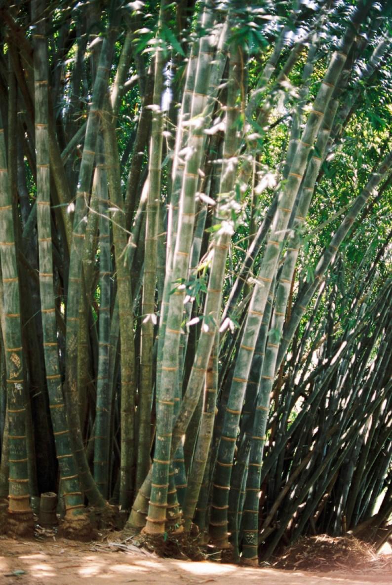 Royal Botanical Gardens in Peradeniya | Bamboo