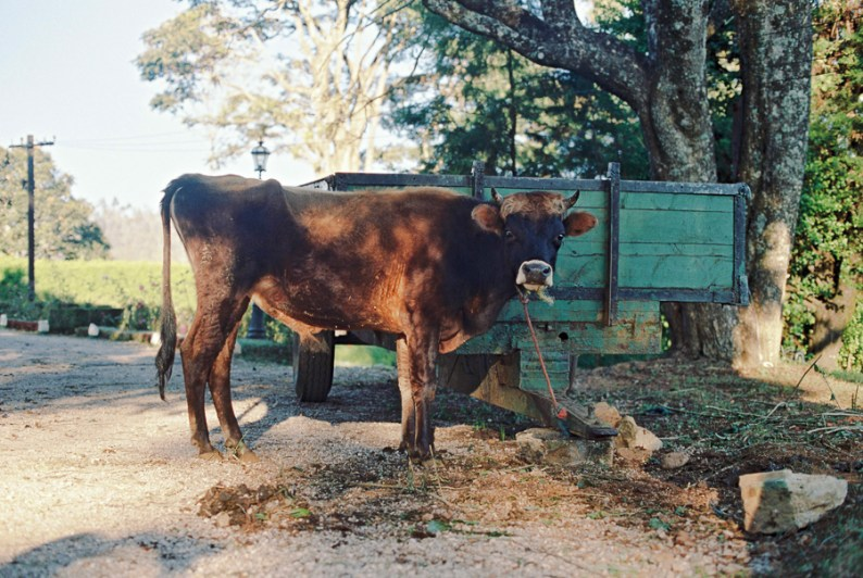 Bessie the Cow at Stafford Bungalow | Sri Lanka