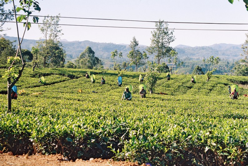 Nuwara Eliya tea pickers | Sri Lanka