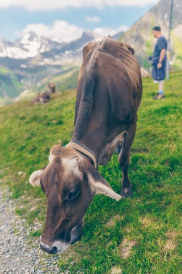 Cows in Ischgl, Austria on the Culinary Jakobsweg