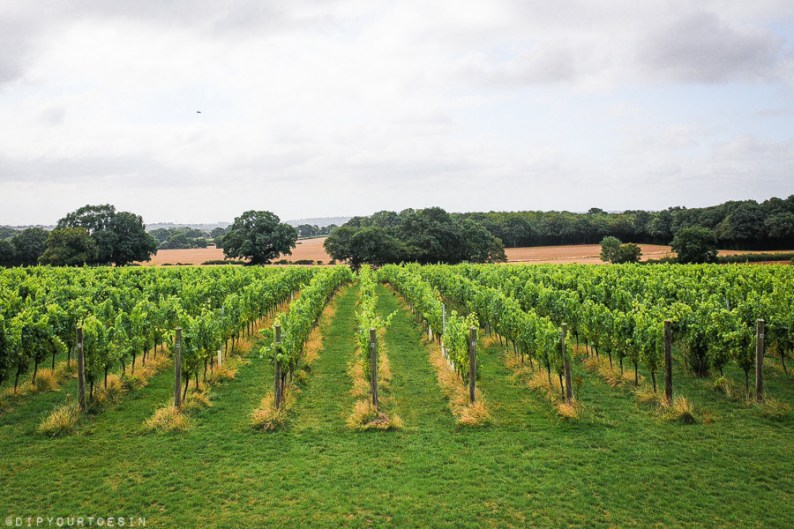 View of vines at Woodchurch Wine Estate, Kent