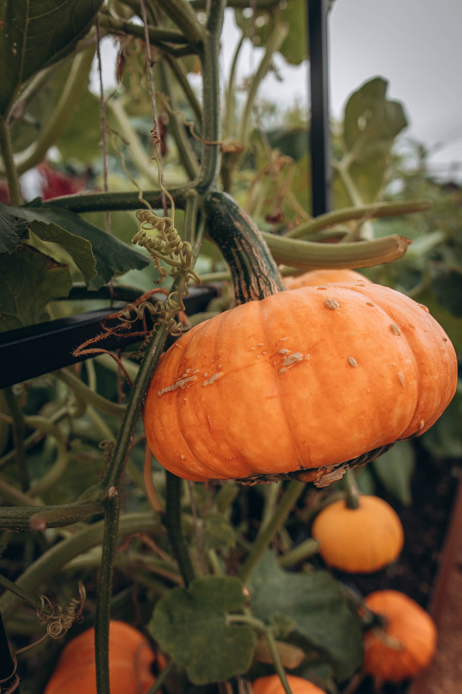 Large pumpkin at World Food Garden   RHS Garden Wisley