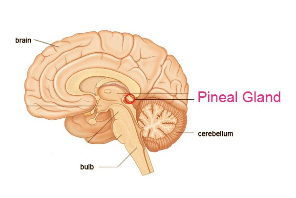 Image result for pineal gland hormones