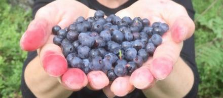 5 frutas silvestres que você não pode deixar de experimentar na Finlândia
