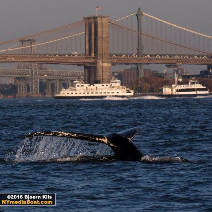Humpback whale dive in the shadow of the Brooklyn Bridge