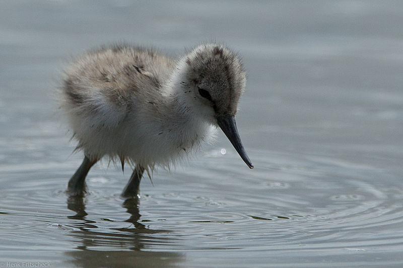 jonge kluut, Recurvirostra avosetta, Avocet, Säbelschnäbler