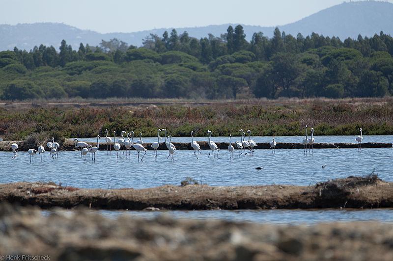 Ria Formosa, Flamingos