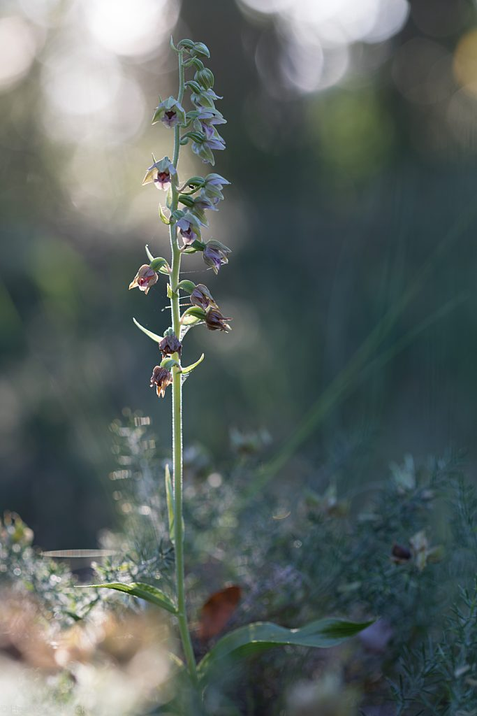 Brede wespenorchis