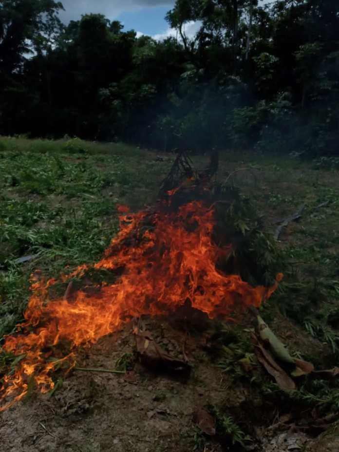 Several cops 'burn' over 50kg compressed cannabis, thousands of 'ganja' plants - HGP TV