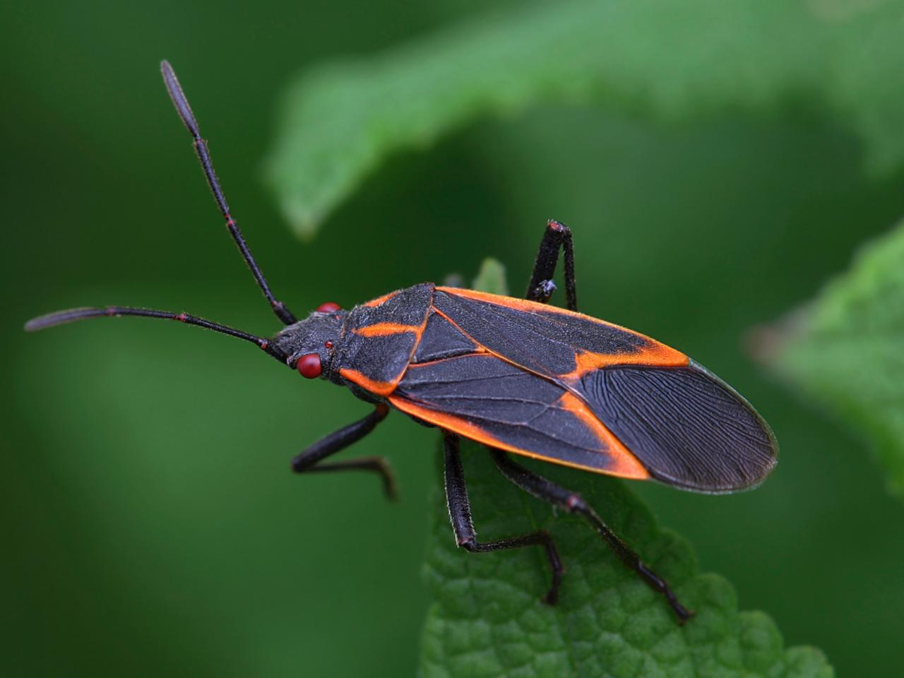 Image result for boxelder bugs