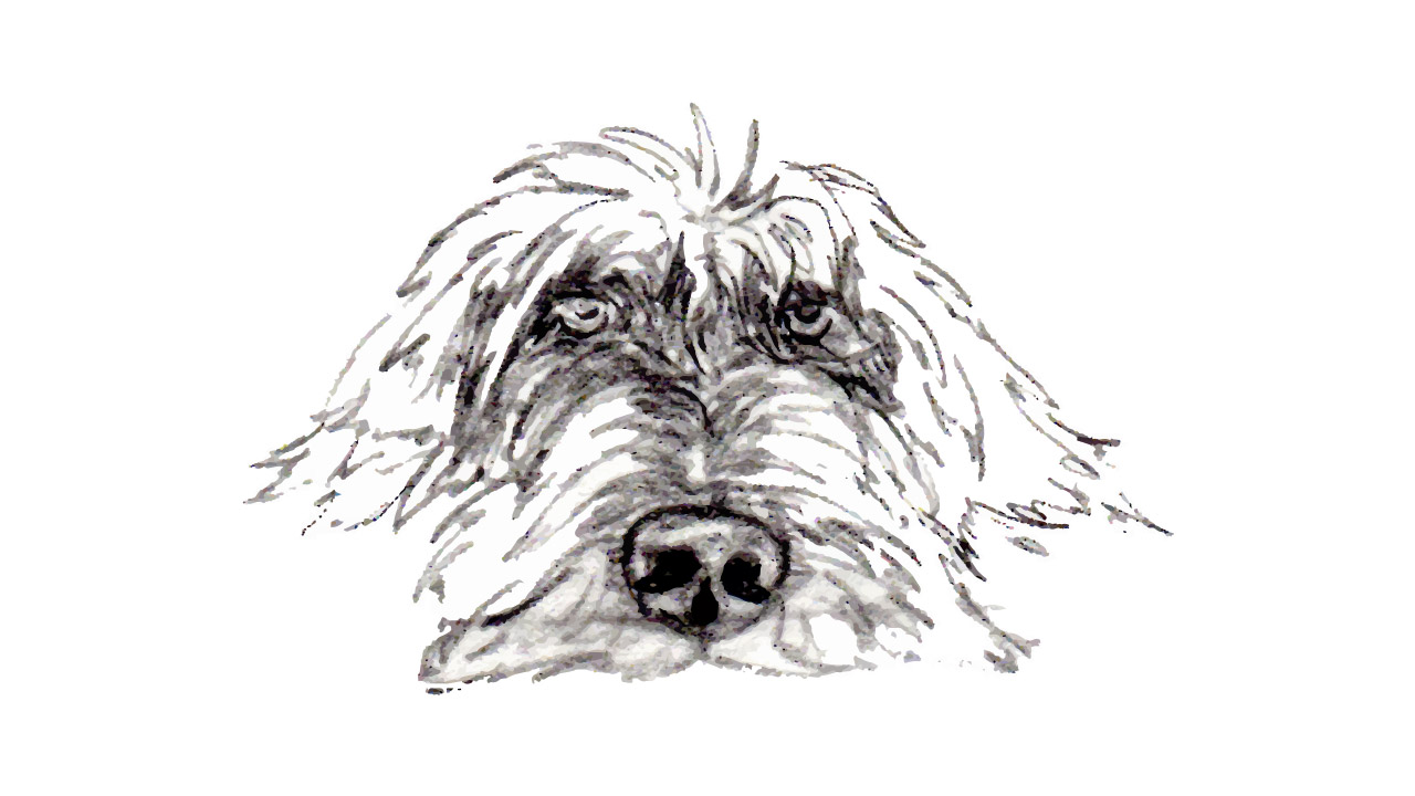 All about Wirehaired Pointing Griffons   H&H Griffons