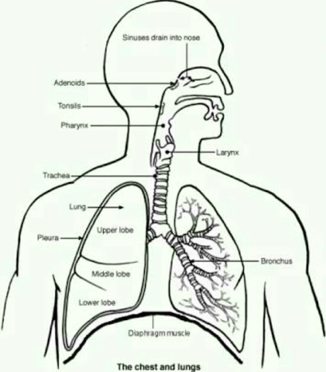 A Drawing Of Respiratory System