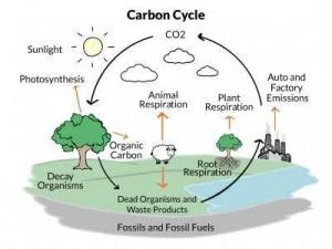 diagram of carbon cycle?  Brainlyin