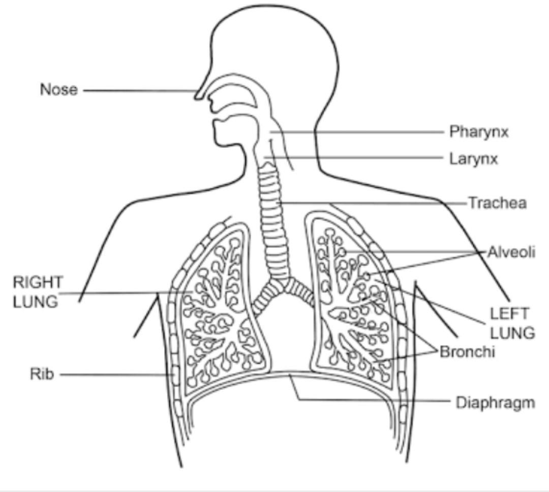 35 Label The Respiratory System