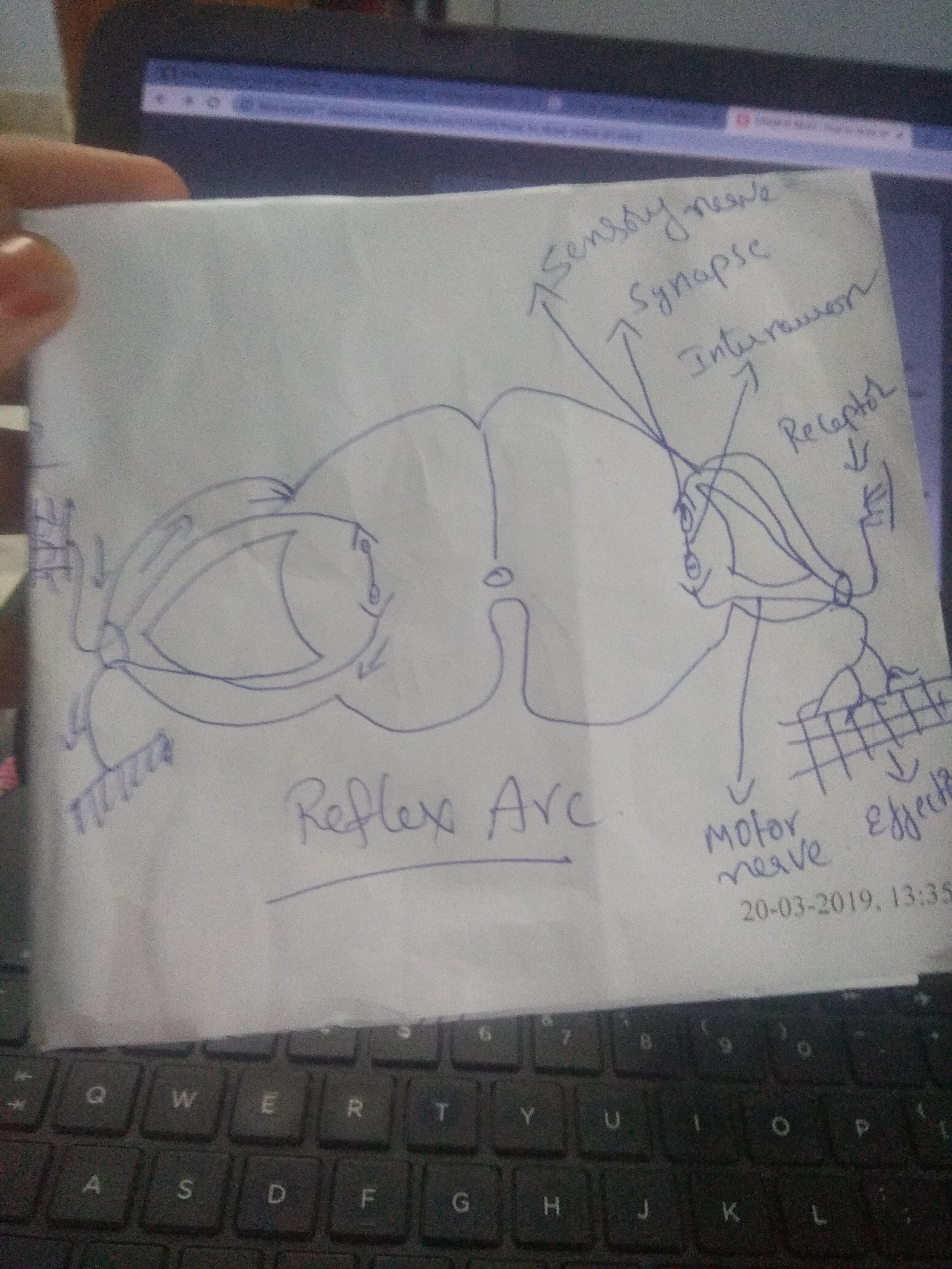 What Is Reflex Arc Draw Schematic Diagram Of Reflex Arc