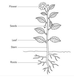 Draw neat and well labelled diagrams of: (a) Parts of a plant (b) Hand spindle  Brainlyin