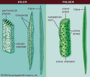 labelled diagram of xylem and phloem showing its