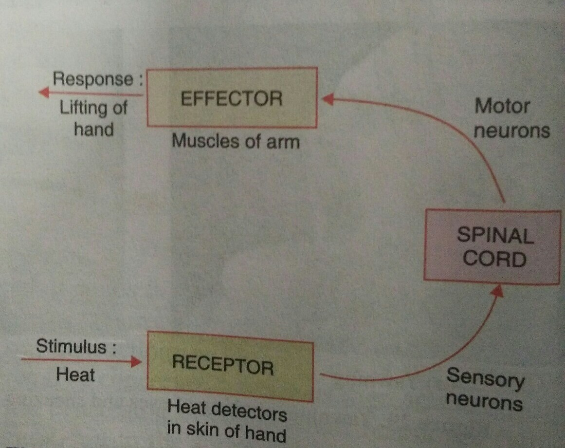 What Is Reflex Arc Draw A Neat Labelled Diagram Of The