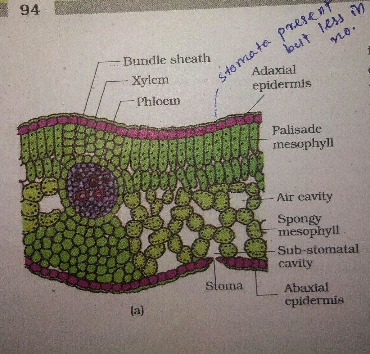 Explain The Internal Structure Of Dicot Leaf