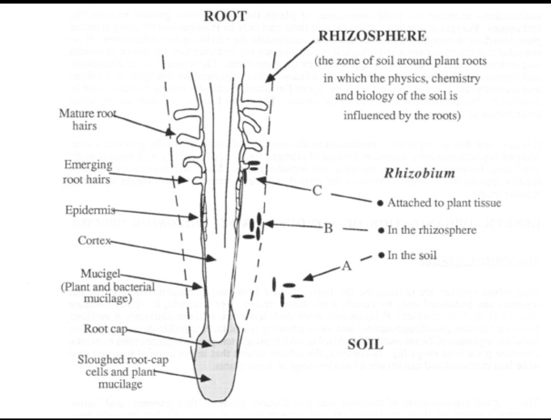 Draw A Structure Of Rhizobium And Write Any Five Points