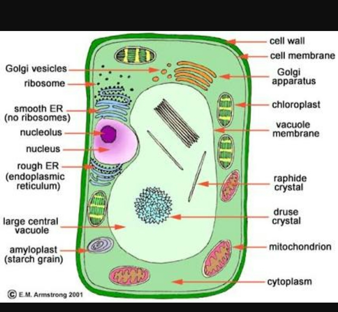Draw A Plant Cell And Label The Parts Which Atermines