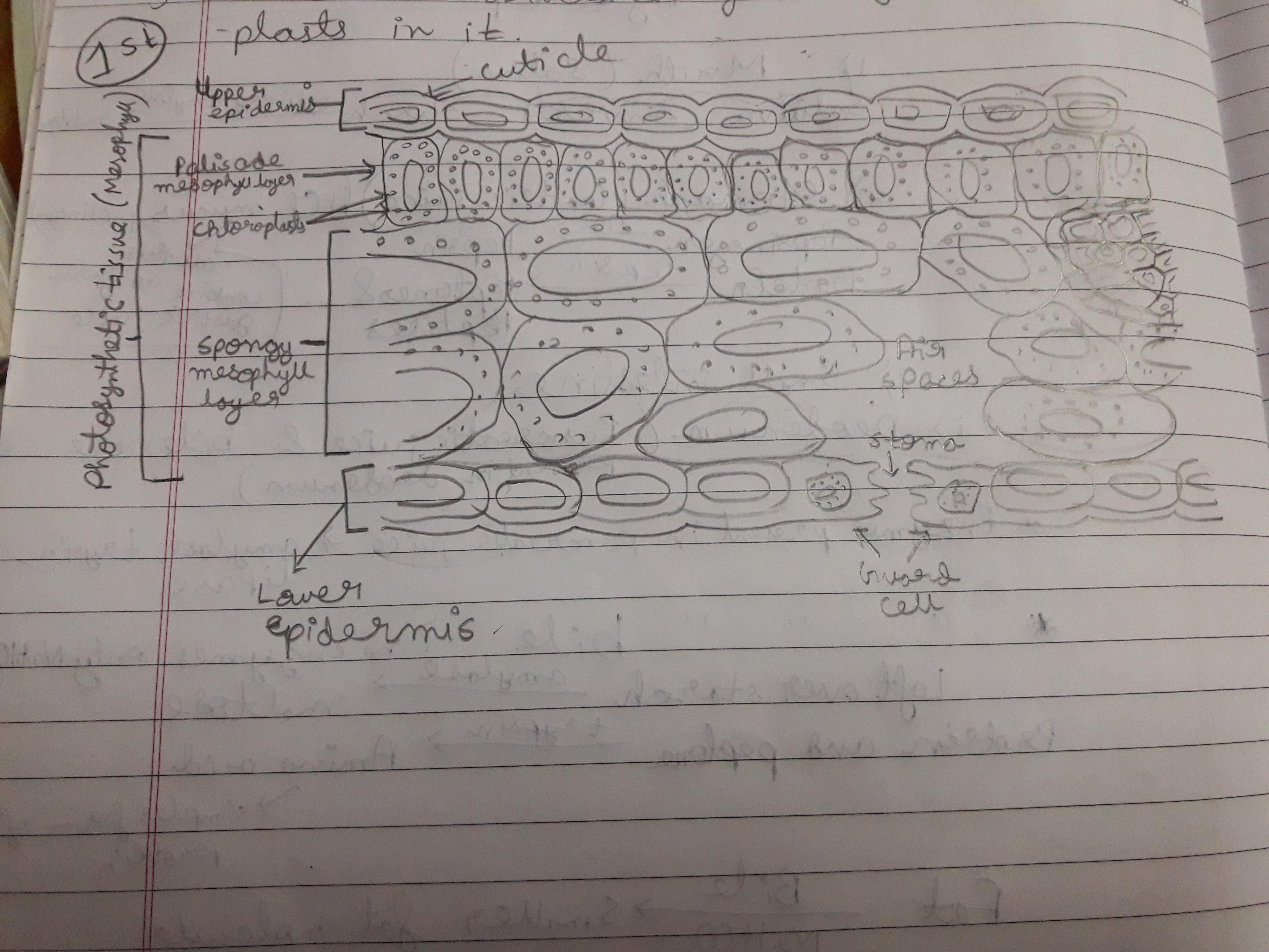 Draw The Diagram Of Cross Section Of A Leaf And Label The