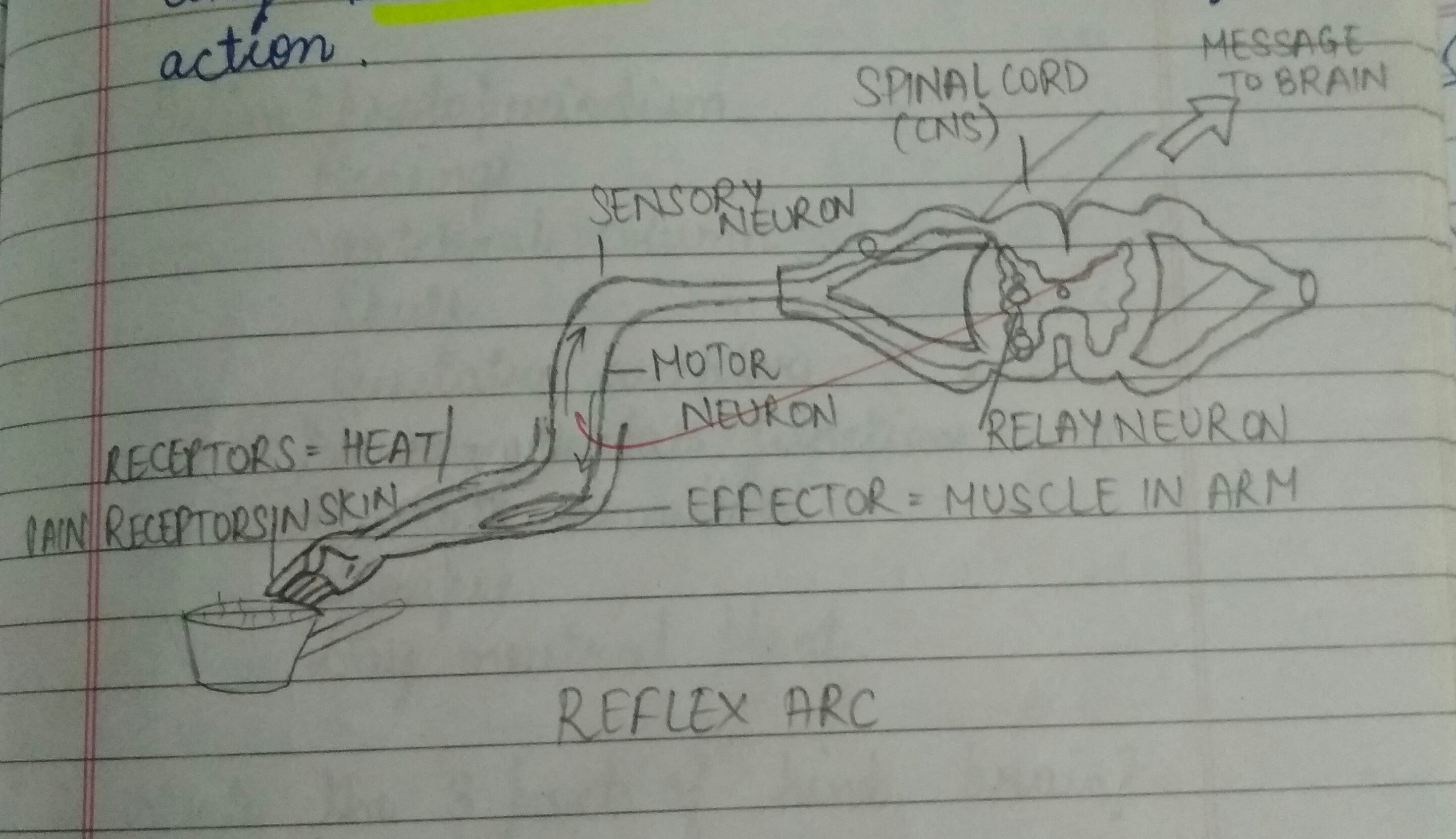 Good Eve Diagram For Reflex Arc Should Be Informative