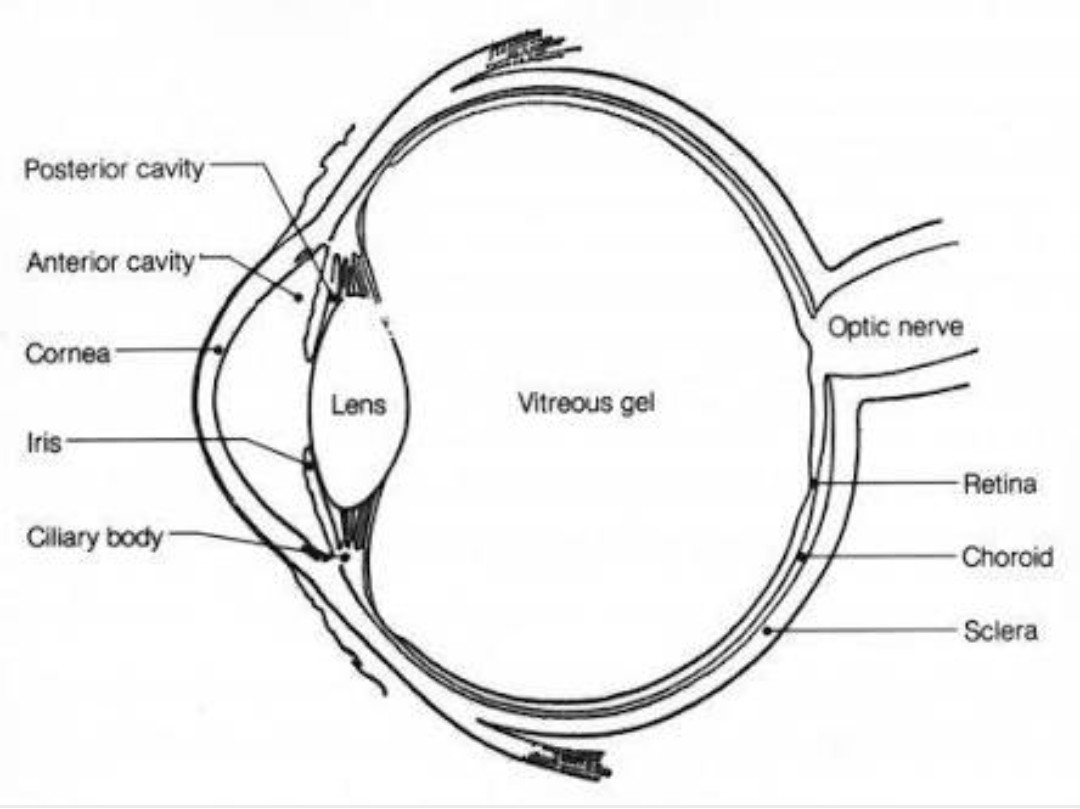 Draw A Human Eye And Label It Parts