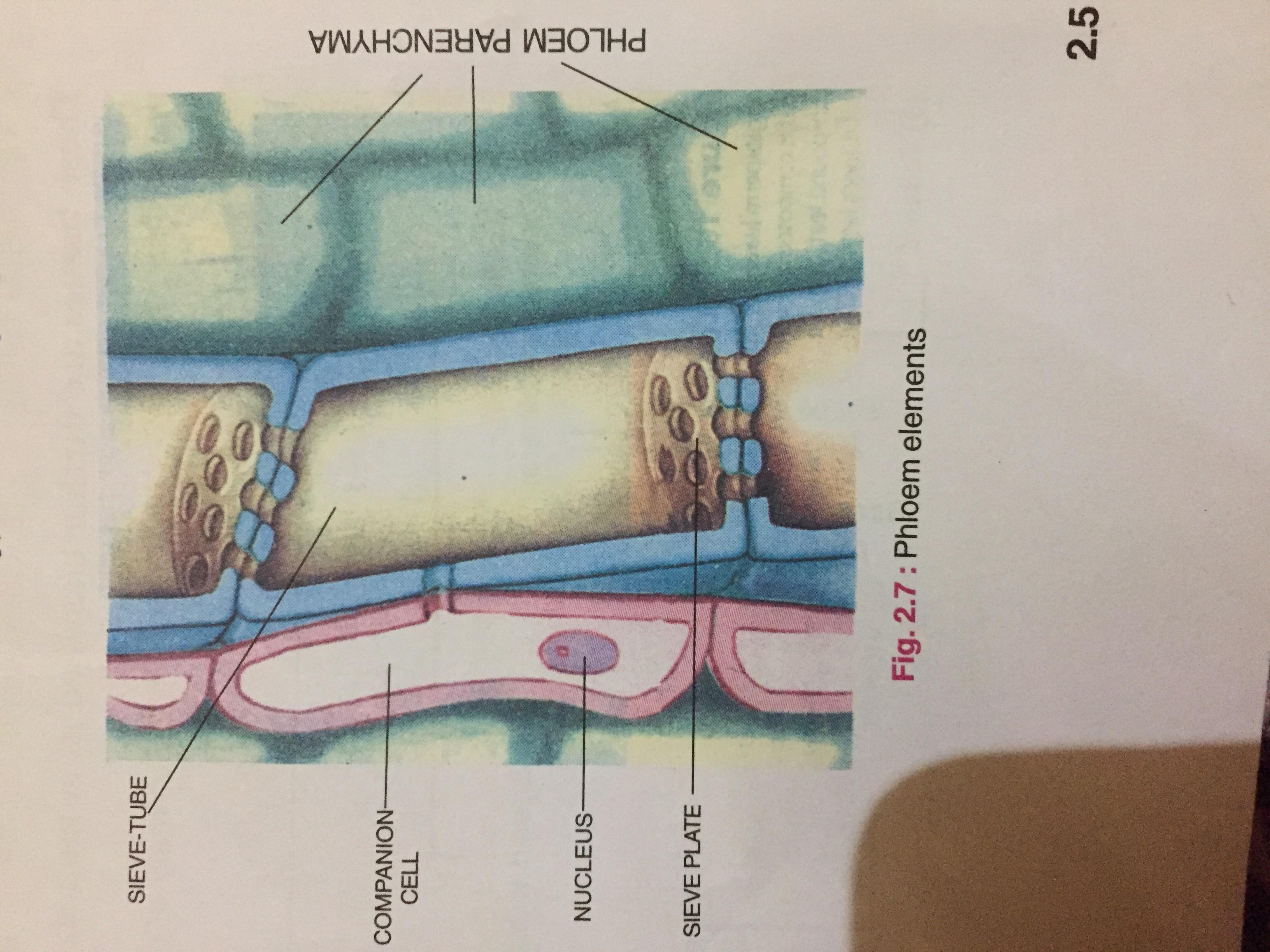 Draw A Diagram Of A Section Of Phloem Name The Four Types