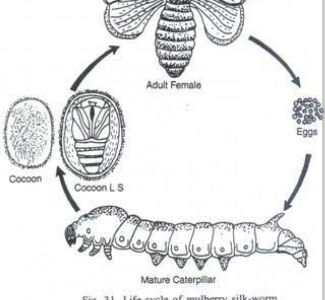 Diagram To Show Life Cycle Of Silk Moth
