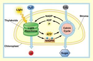 biology photosynthesis diagram  Brainlyin