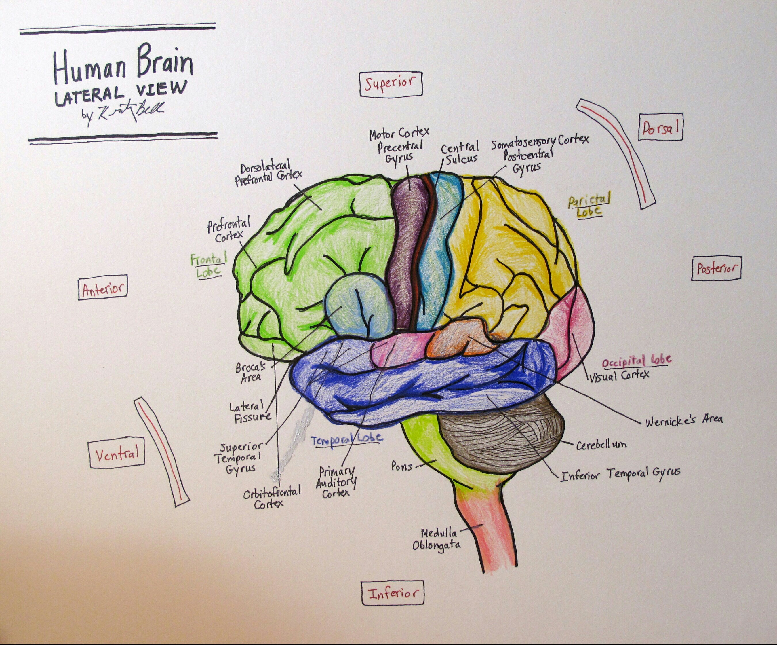 Draw Neat Labelled Diagram Of L S Of Human Brain