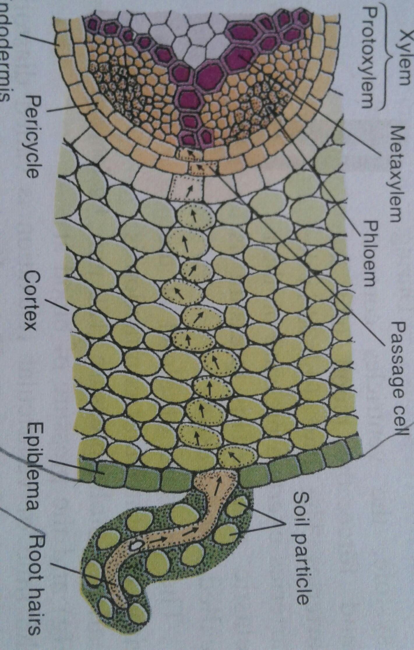 Explain The Function Of Xylem And Phloem With Structure