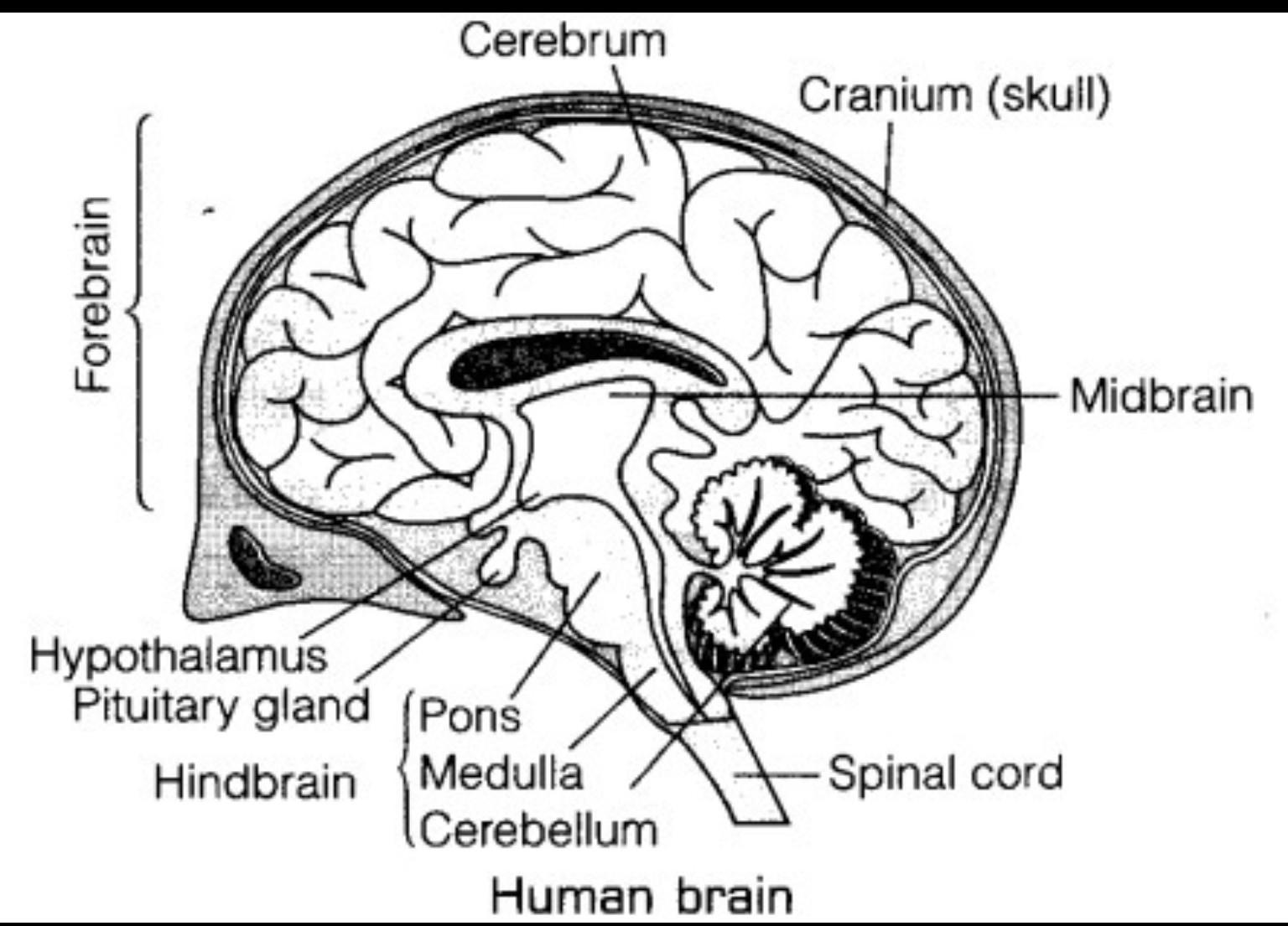 Human Brain Label Diagram