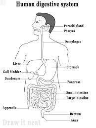 Draw neat and well labelled diagram of Human digestive system  Brainlyin
