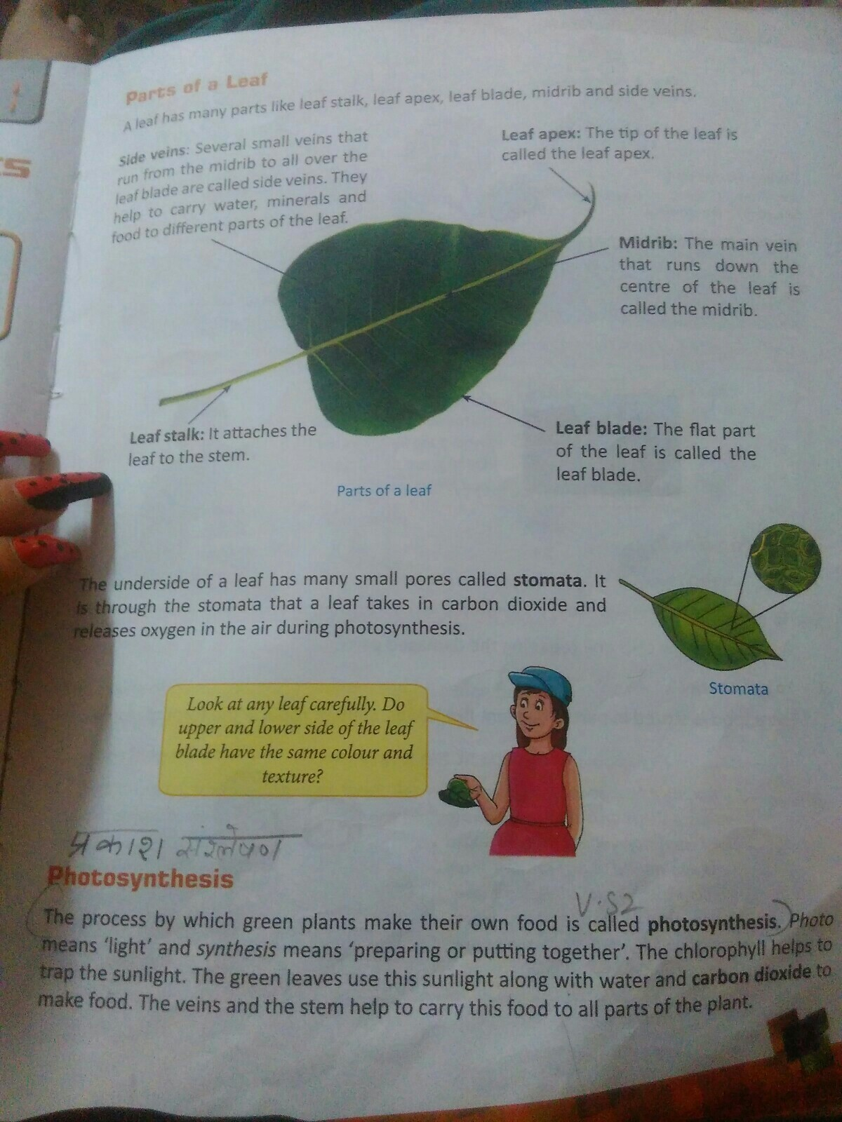 1 Explain The Various Parts Of A Leaf 2 Describe The