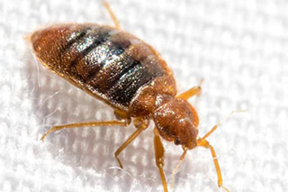 Bed Bug Pest Control Exterminator