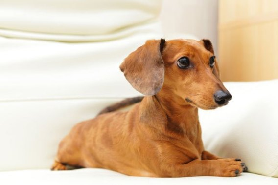 Dachshund-Low Maintenance Dogs