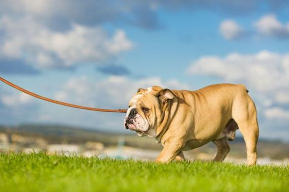 Gentle Bulldog-Low Maintenance Dogs