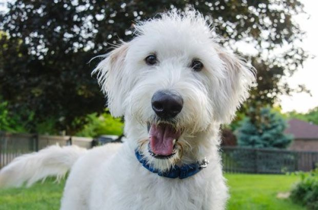 Labradoodle Dogs That Can Be Left Alone