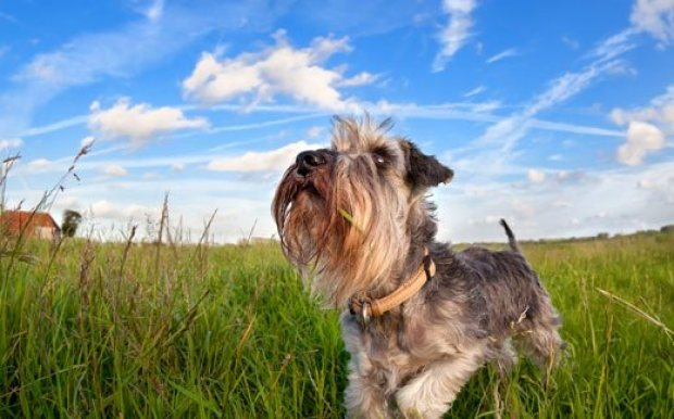 Miniature Schnauzer Dogs That Can Be Left Alone