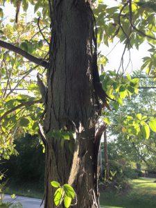 shagbark hickory bark on tree