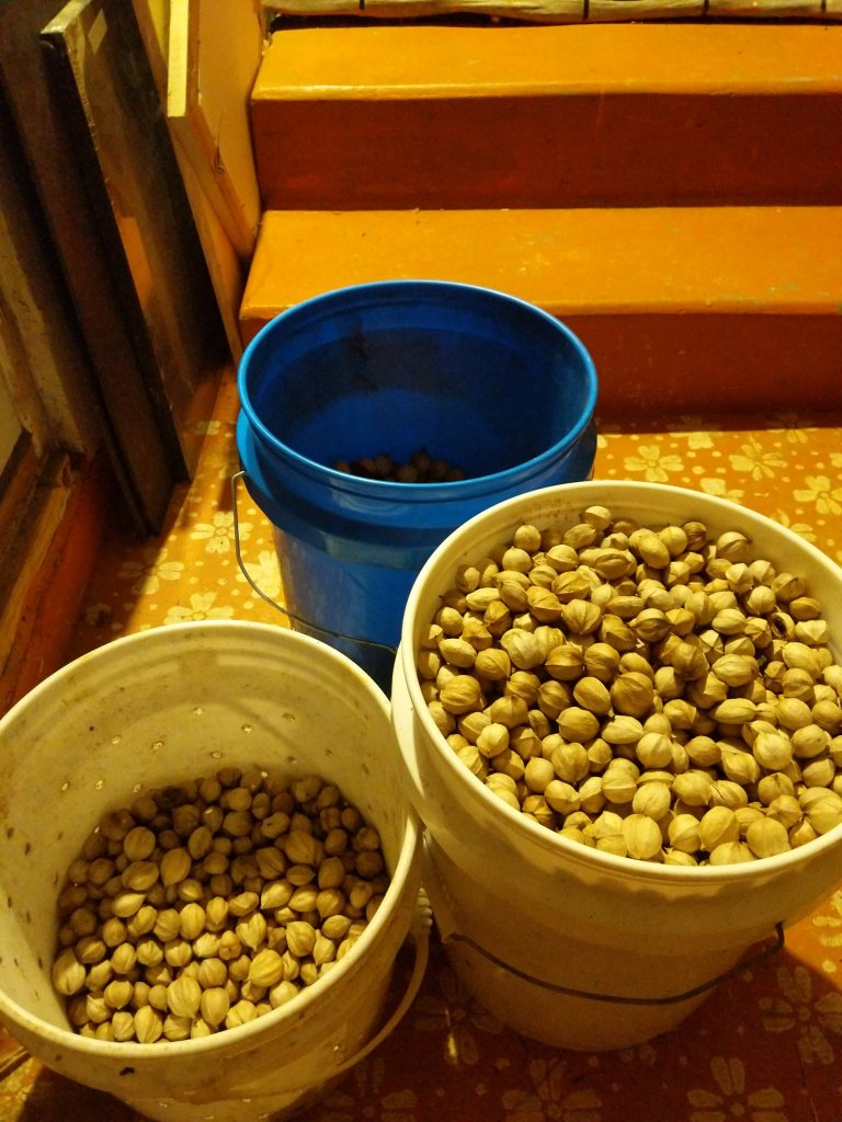 One full bucket and a quarter bucket of shagbarks 2019 Hickory Nut harvest--shagbarks and pignuts in the back