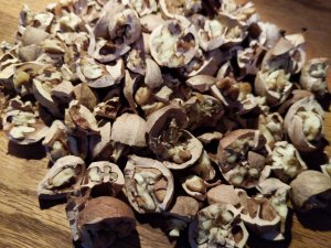 Cracked Sweet Pignut Hickory Nuts.